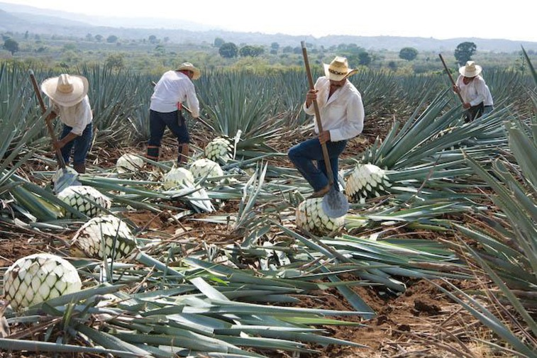 Agave harvest: to be allowed to bear the name of tequila, it has to be made in Mexico in the area of Tequila, and contain no less than 51 per cent of agave sugar.