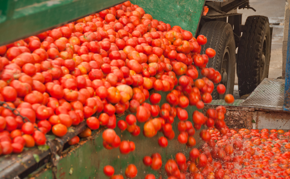 More than 50,000 tons of tomatoes are supplied from the surrounding region in the three-month harvesting season.